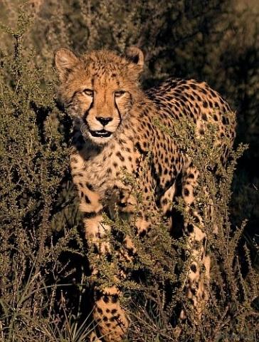 Geparden Teenager I
