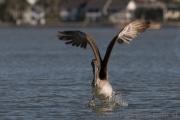 Brauner Pelikan