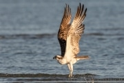 Fischadler im Abflug