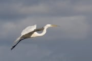Great Egret im Brunstkleid