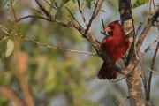 Kardinal Männchen