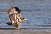 Junger Weisskopfadler