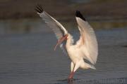 Weisser Ibis