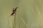 Spinne im Weizenfeld