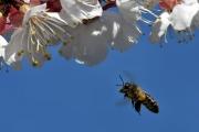 Fleissige Biene