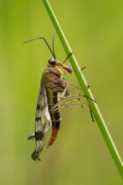 Skorpionfliege frisch geschlüpft