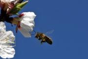 Fleissige Biene III