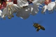 Fleissige Biene IV