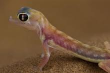 Gecko I Namib-Wüste