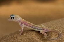Gecko II Namib-Wüste