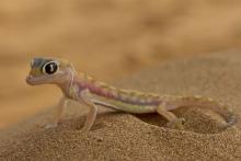 Gecko III Namib-Wüste