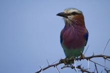 Lilac Breasted Roller VI