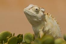 Chameleon Namib-Wüste