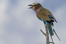 Lilac Breasted Roller I