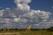 Wolkenstimmung mit Giraffen