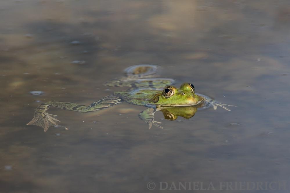 Frosch oder Prinz