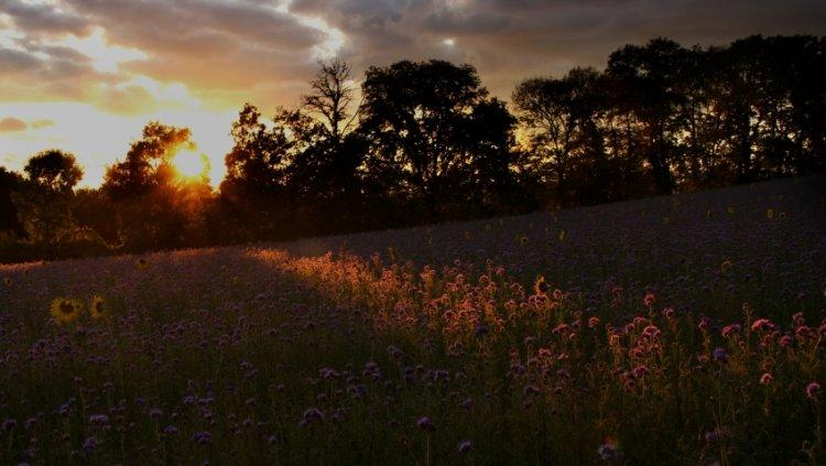 Abendlicht mit Sonnenblumen